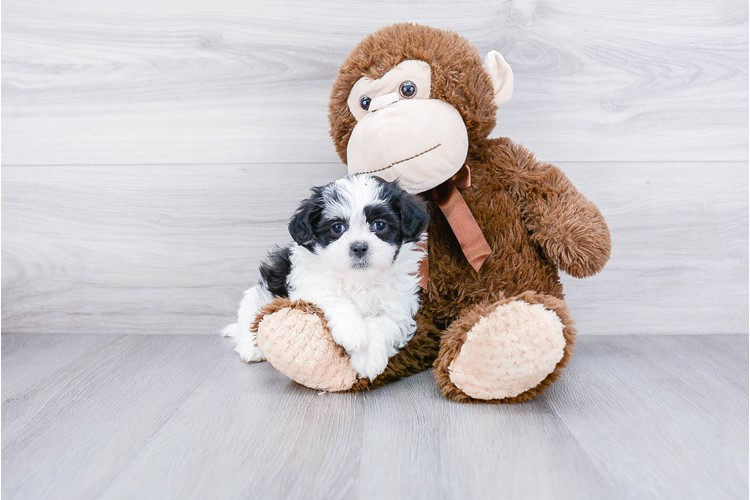 TEDDY BEAR PUPPY 2