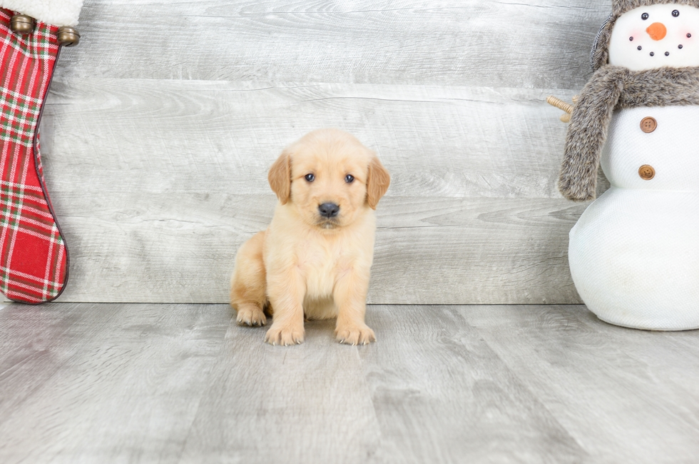 GOLDEN RETREIVER PUPPY - 9 week old Golden Retriever for sale