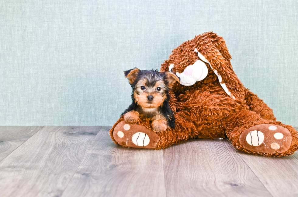 MICRO TEACUP YORKIE PUPPY - 9 week old Yorkshire Terrier for sale