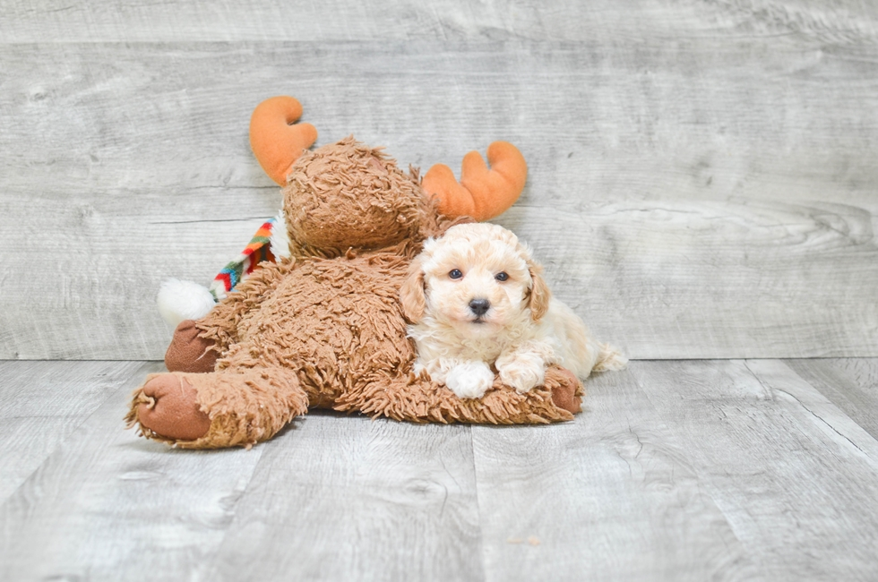TOY POODLE PUPPY - 6 week old Toy Poodle for sale