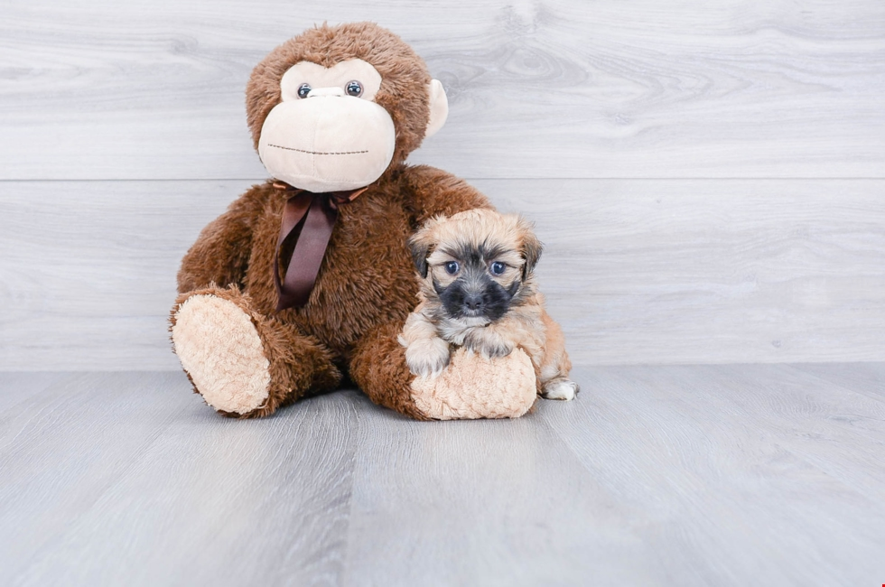 MORKIE PUPPY - 7 week old Morkie for sale