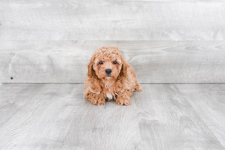 MINI POODLE PUPPY 3