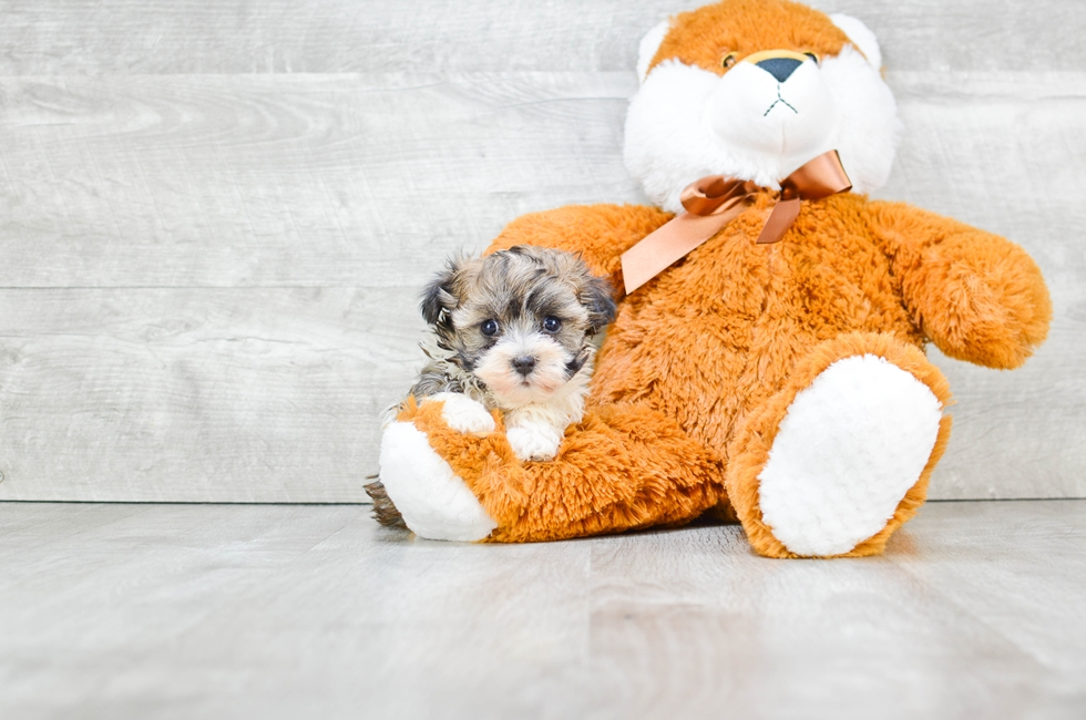 HAVANESE PUPPY - 7 week old Havanese for sale