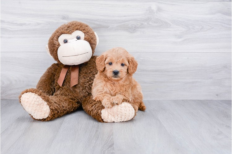 F1 MINI GOLDENDOODLE PUPPY 1