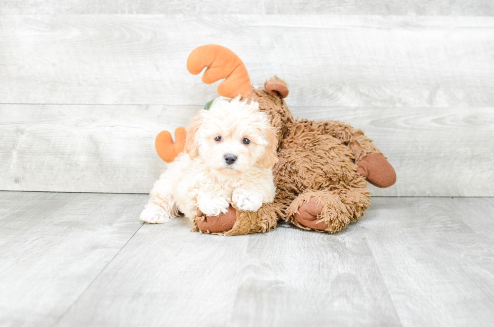 MALTI POO PUPPY - 8 week old Malti Poo for sale