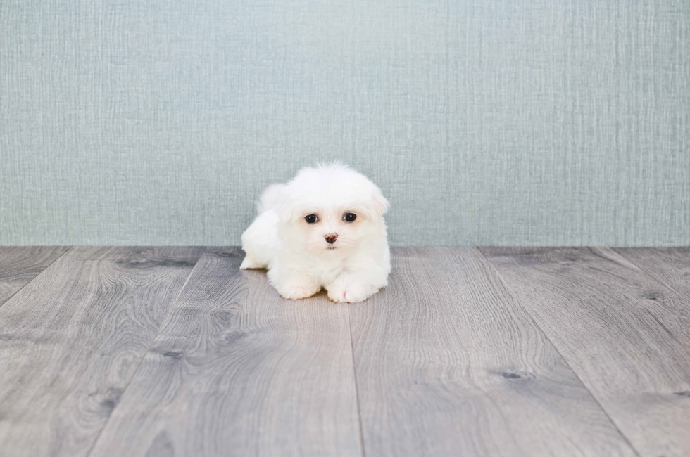 MICRO TEACUP MALTESE PUPPY - 8 week old Maltese for sale
