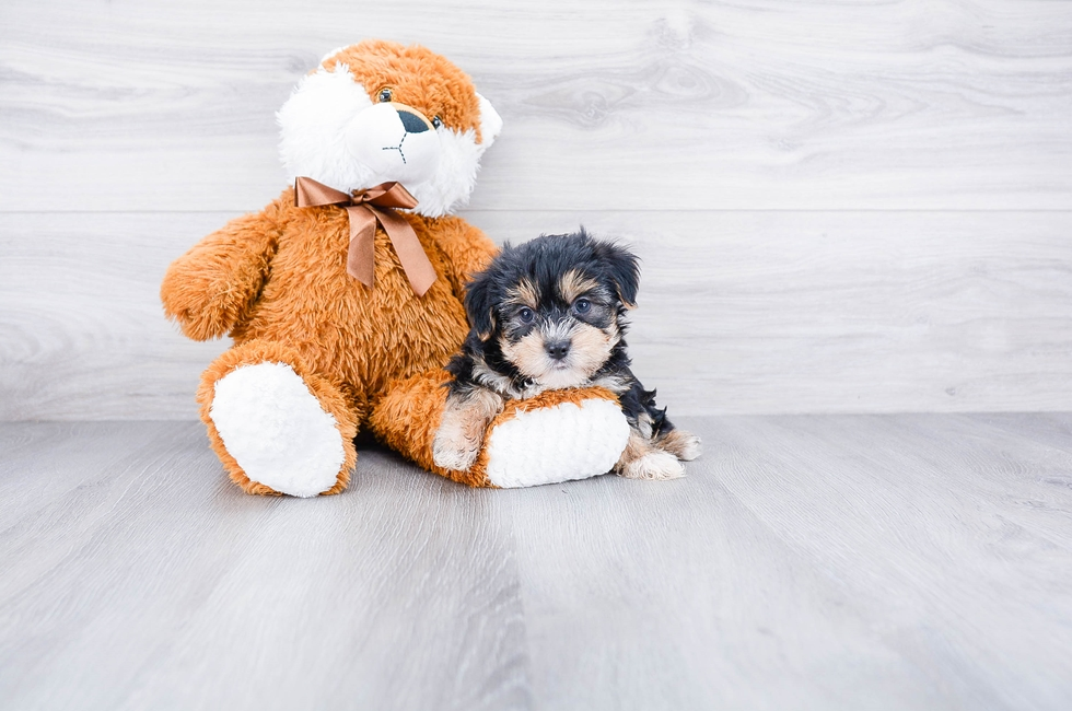 Morkie Puppies for Sale – On-the-spot Adoption in Ohio / US Shipping