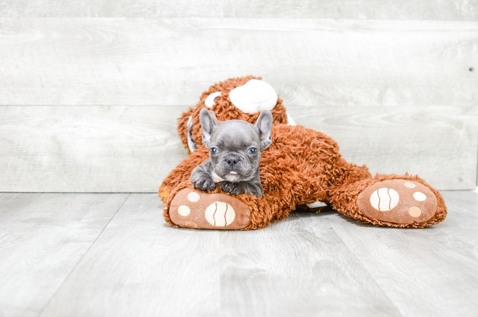 French Bulldog Puppies For Sale Mixed Small Breed Puppies For Sale In Ohio