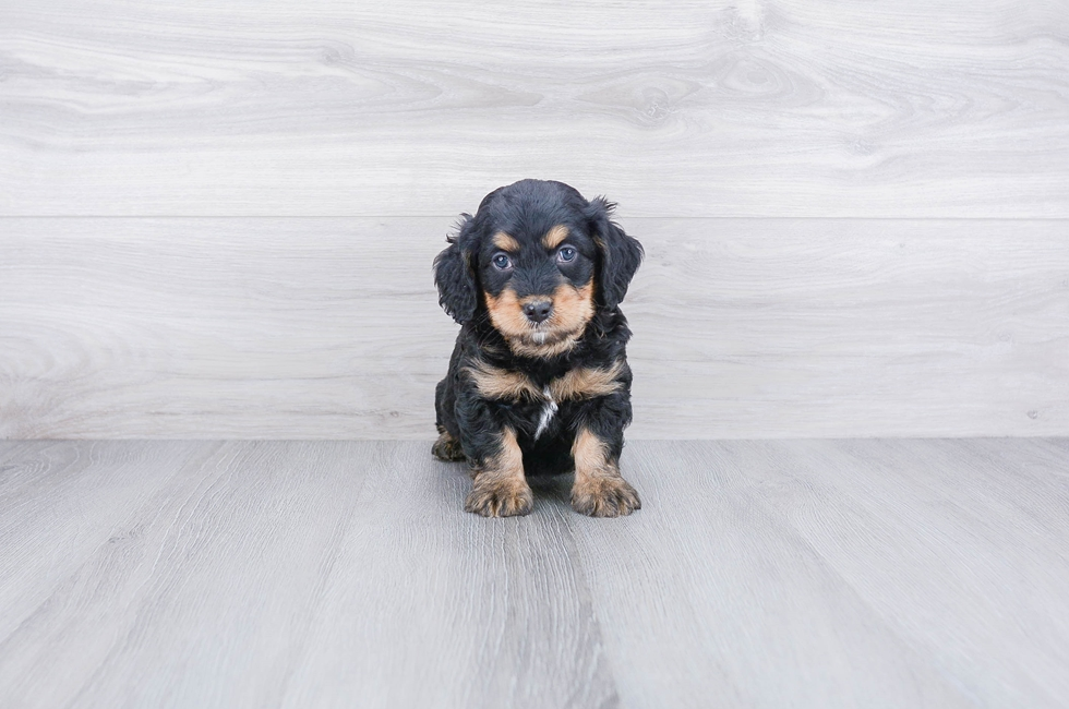 F1B MINI BERNEDOODLE PUPPY - 8 week old Mini Bernedoodle for sale