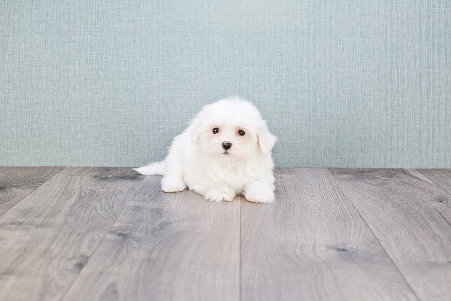 MICRO TEACUP MALTESE PUPPY 3