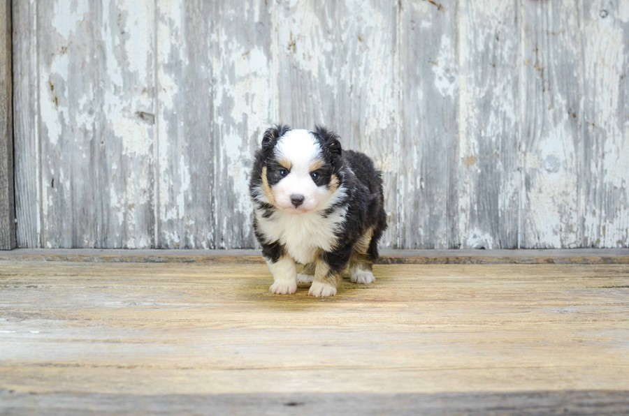 TOY AUSSIE PUPPY 1