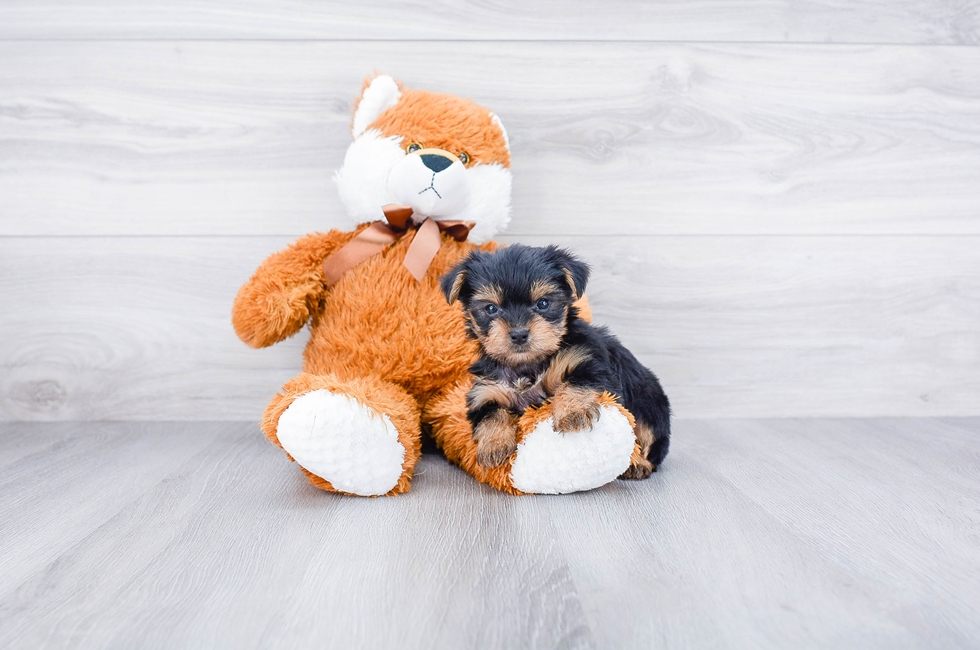 F1B MORKIE PUPPY - 8 week old Morkie for sale