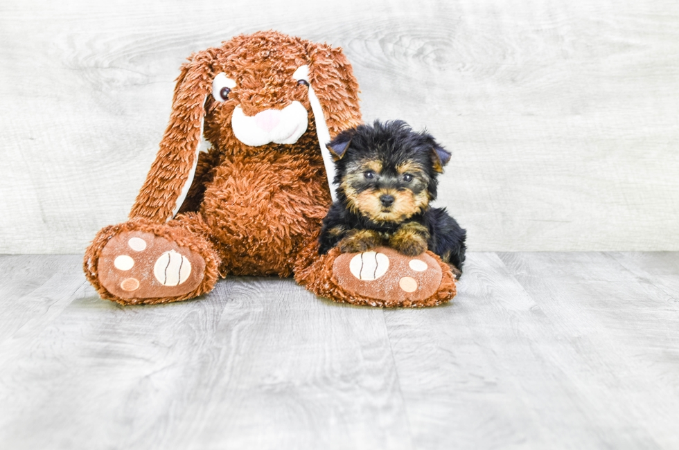 Yorkie Puppies For Sale Buy Teacup Akc Yorkshire Terrier Pups
