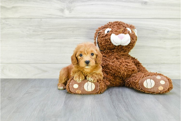 F1B TOY GOLDENDOODLE PUPPY 2