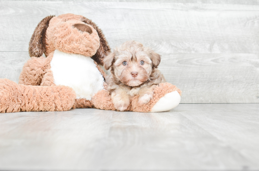 HAVANESE PUPPY - 9 week old Havanese for sale