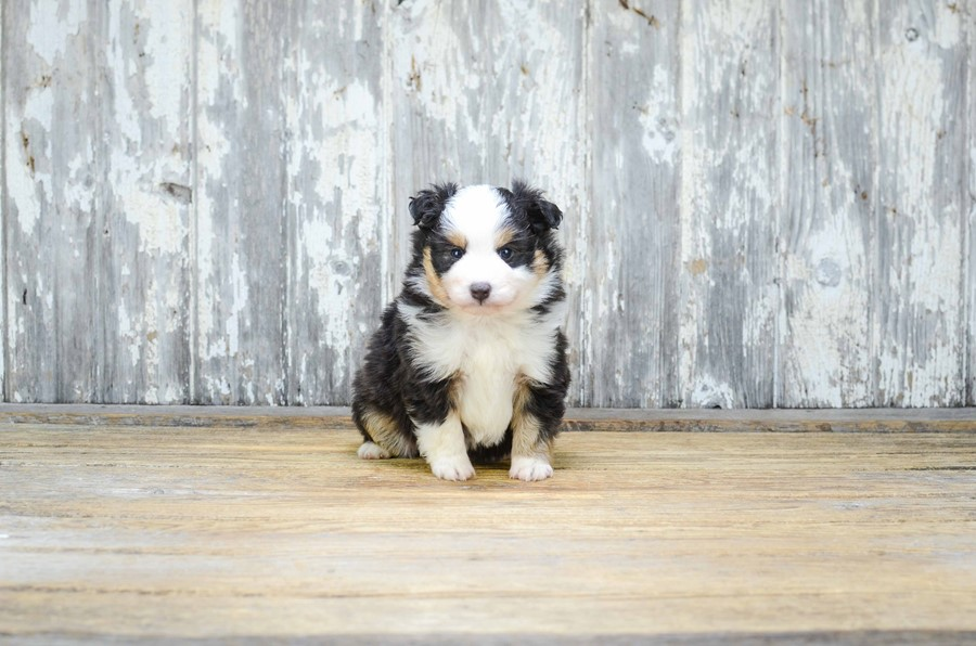 TOY AUSSIE PUPPY 4