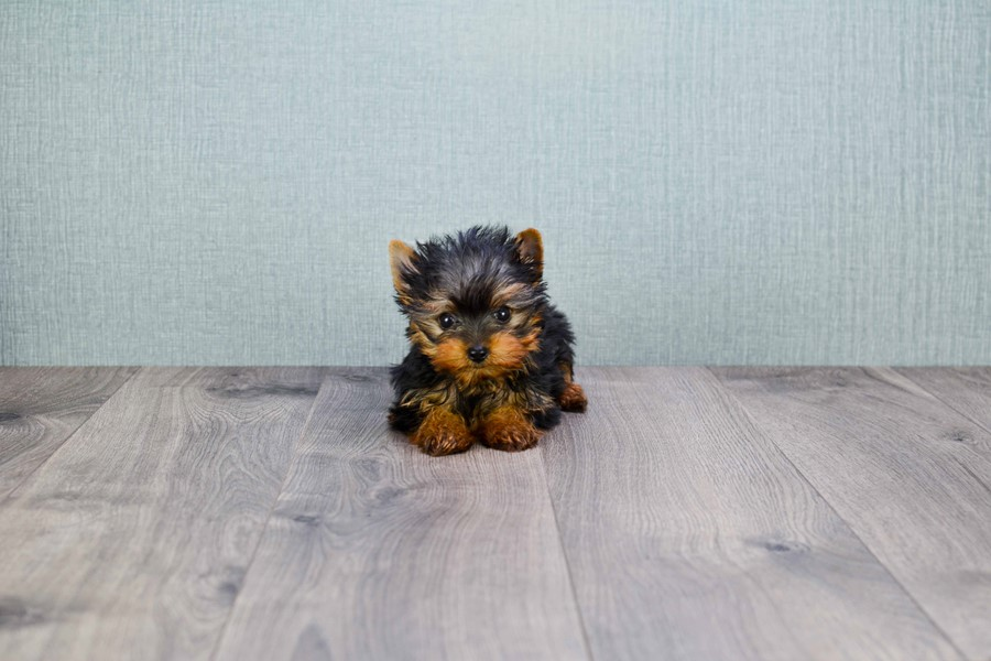 MICRO TEACUP YORKIE PUPPY 2