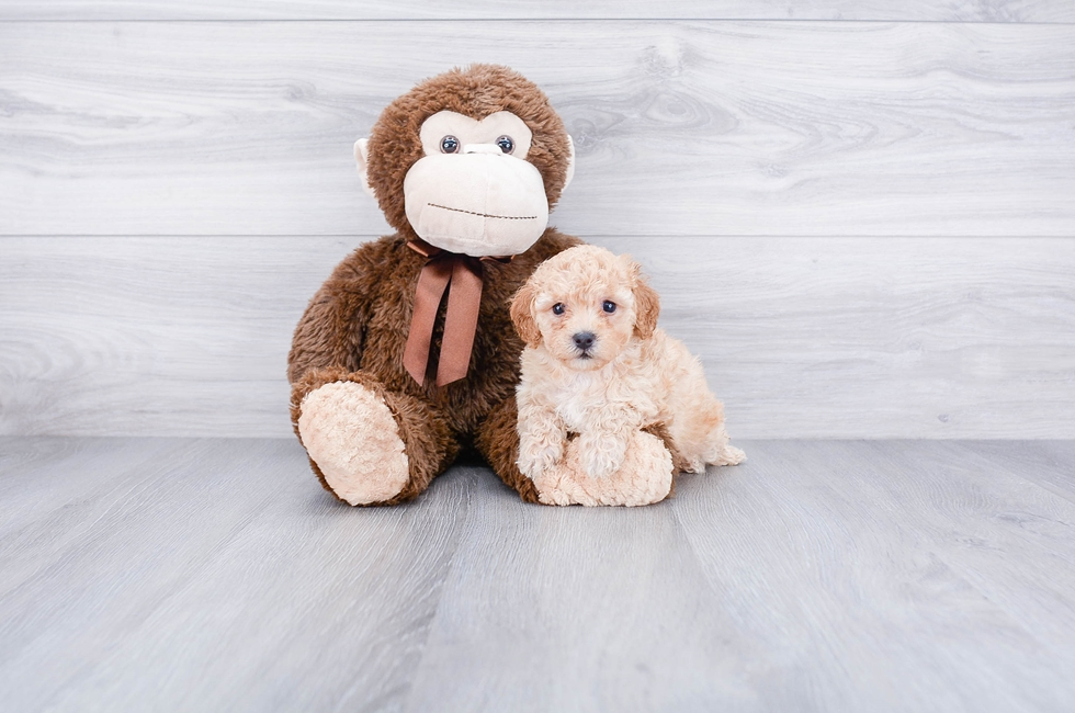 TOY POODLE PUPPY - 8 week old Poodle for sale