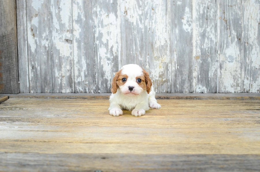CAVALIER KING CHARLES SPANIEL PUPPY 2
