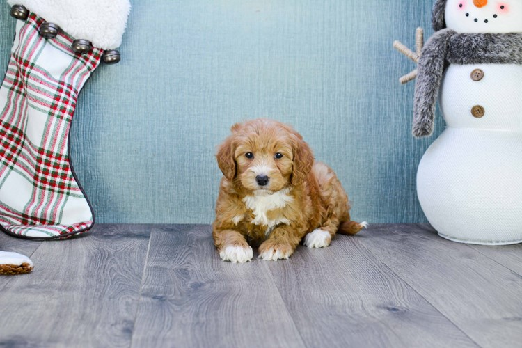 Mini Goldendoodle Puppy For Sale Premier Pups