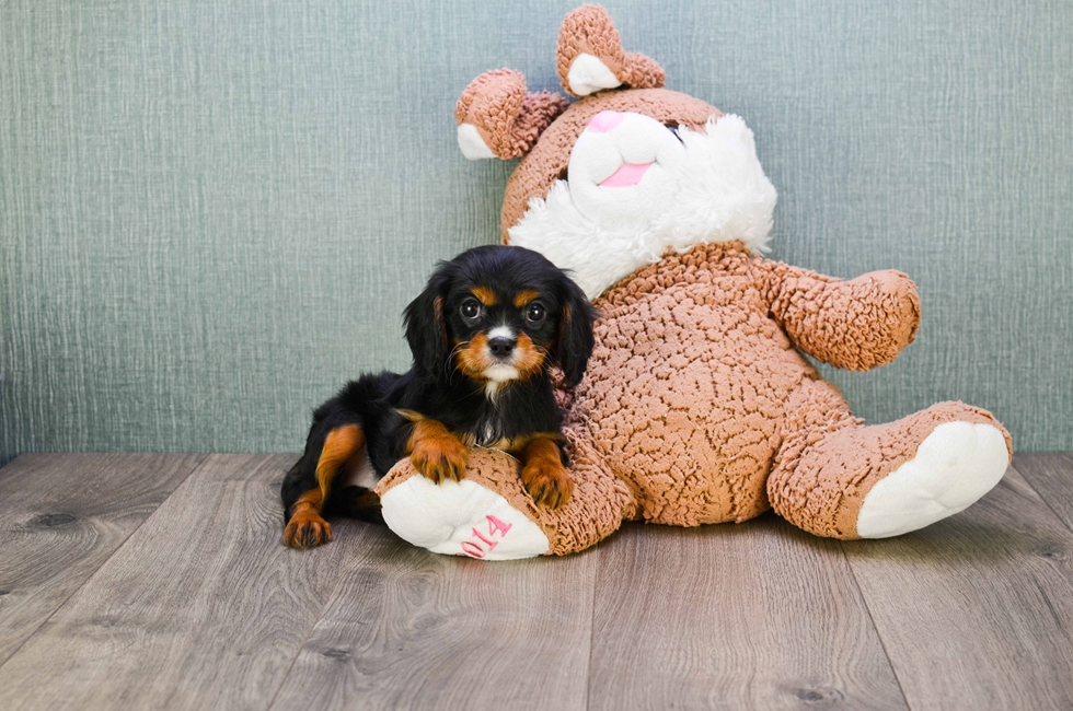 CAVALIER KING CHARLES PUPPY - 48 week old Cavalier King Charles Spaniel