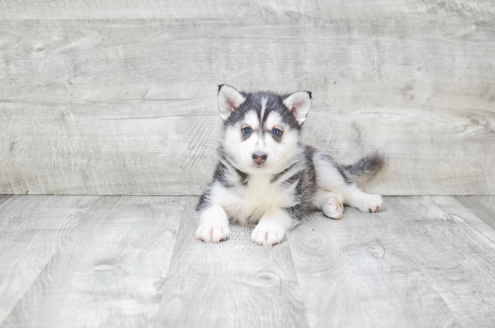 POMSKY PUPPY - 6 week old Pomsky for sale