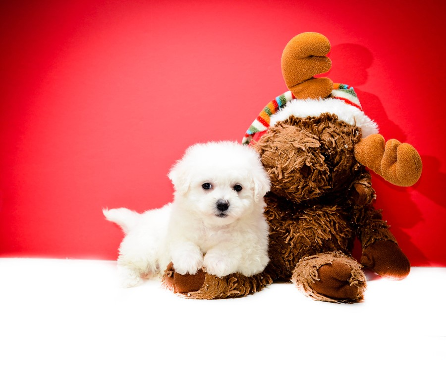 WELCOME TO ABCPUPPY - Maltipoo Puppies For Sale Home of the best designer breeds like Maltipoo, Bichpoo or Poochon, Shihpoo, Malshipoo, Maltichon, Malshi Sign up to our mailing list and be notified on new litters, click here. Maltipoo Puppies For Sale.