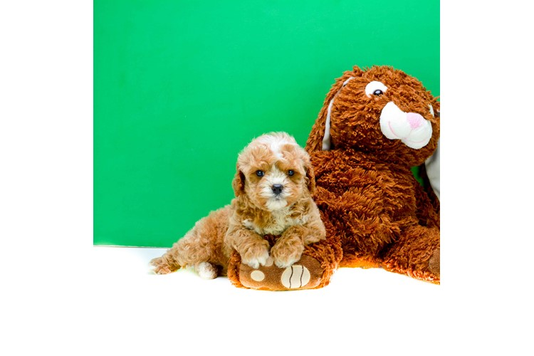 Rover Cavapoo Puppies for Sale | Cavoodle Puppies - US Shipping Puppy