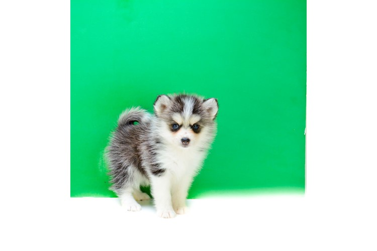 Teacup Serena Is Our Pomsky Puppy For Sale