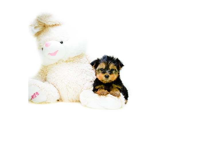 teacup yorkie puppies for sale in ohio teacup jeremy is our yorkie puppy for sale in ohio 3603