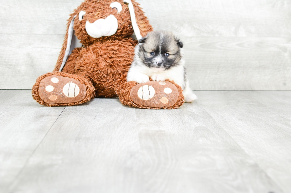 TEACUP POMERANIAN PUPPY - 7 week old Pomeranian for sale