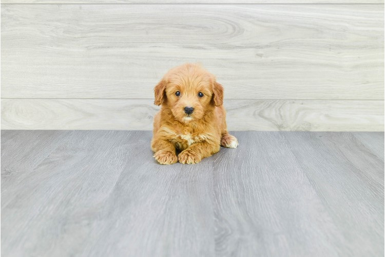 F1B TOY GOLDENDOODLE PUPPY 3