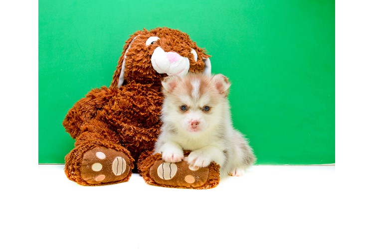 Teacup Monica Is Our Pomsky Puppy For Sale