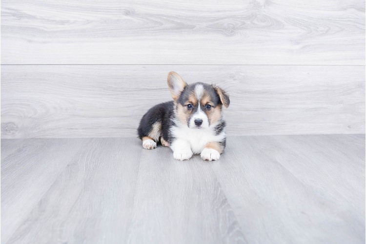 PEMBROKE WELSH CORGI PUPPY 1