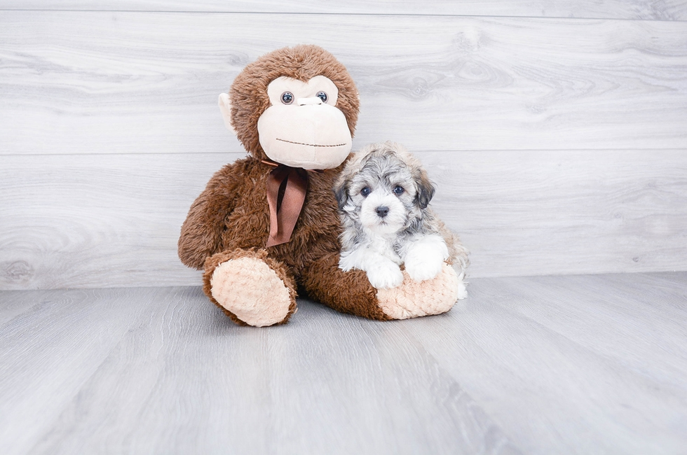Havanese Puppies for Sale | PremierPups com