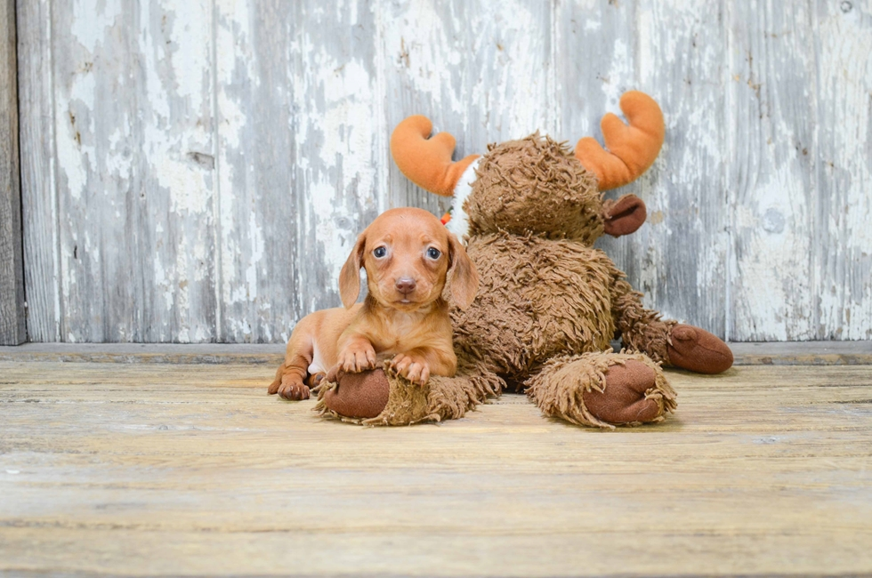 DACHSHUND PUPPY - 6 week old Dachshund for sale