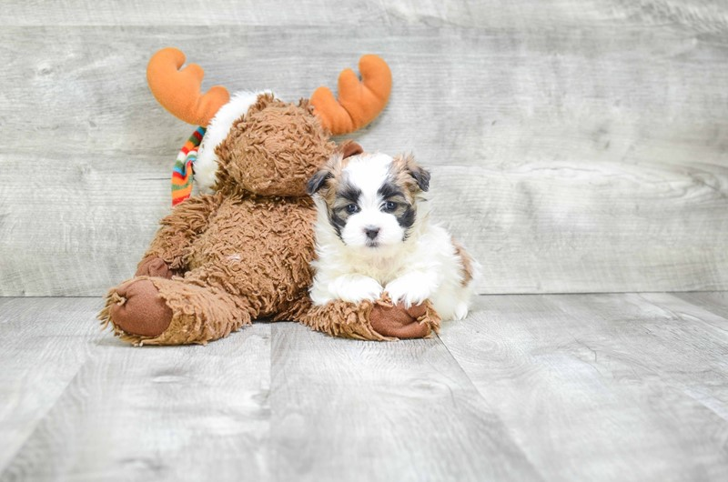 brown teddy bear puppies - 800×530