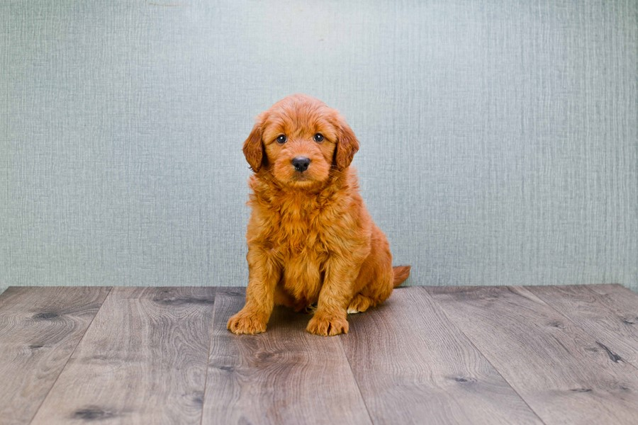 MINI GOLDENDOODLE PUPPY 5