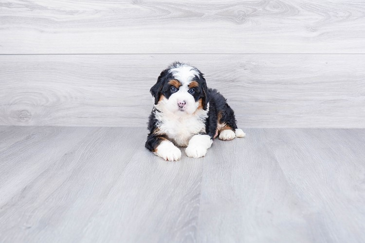 F1 MINI BERNEDOODLE PUPPY 3