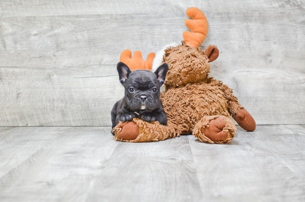 FRENCH BULLDOG PUPPY (LOCAL PICK-UP OR REGIONAL DELIVERY) - 6 week old French Bulldog for sale