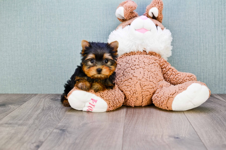 MICRO TEACUP YORKIE PUPPY 6