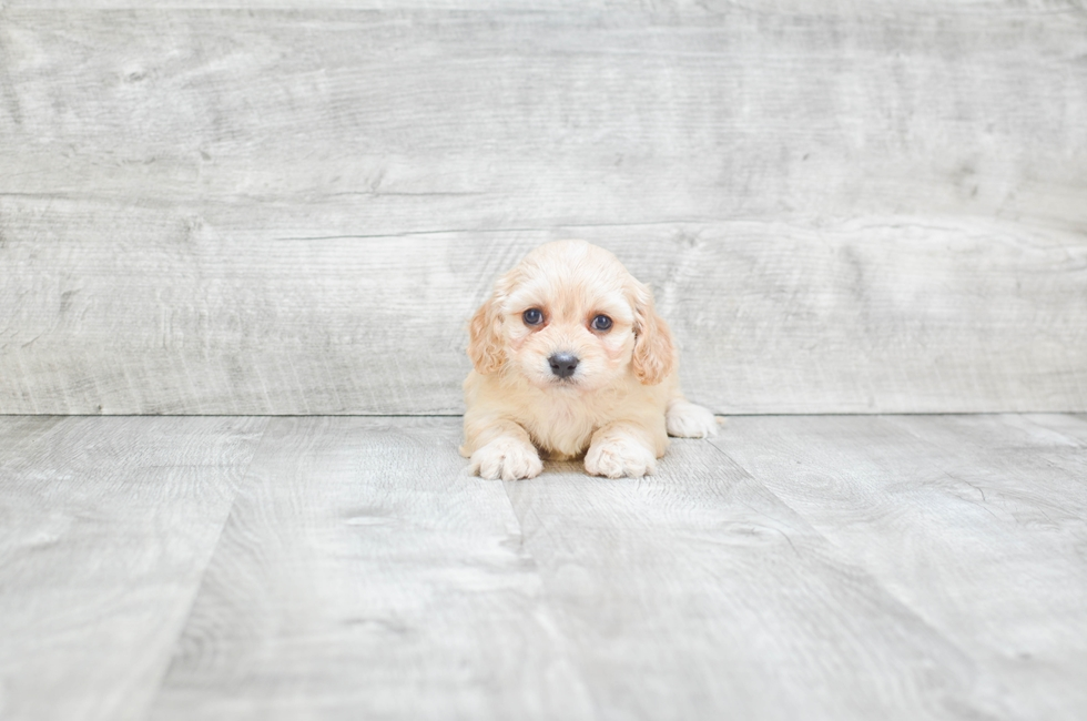 CAVA CHON PUPPY - 7 week old Cava Chon for sale