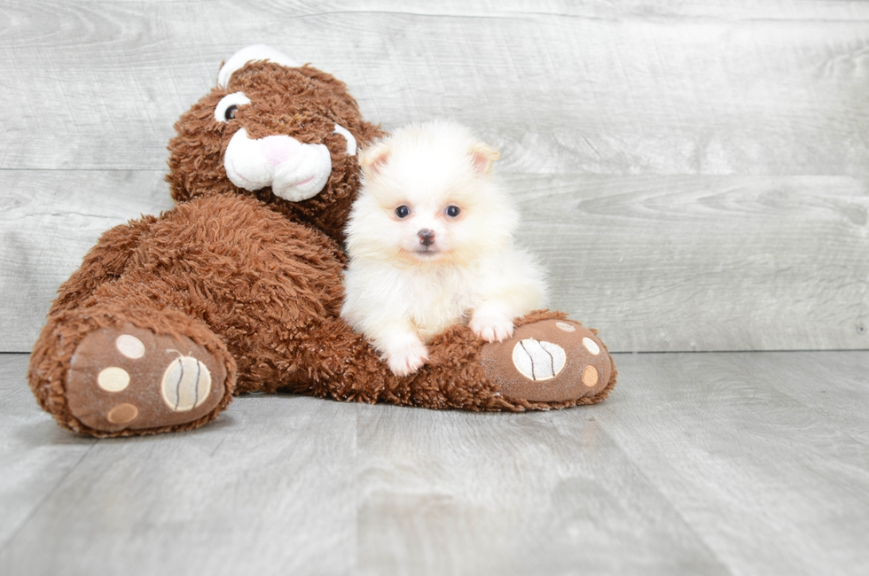 TEACUP POMERANIAN PUPPY - 6 week old Pomeranian for sale