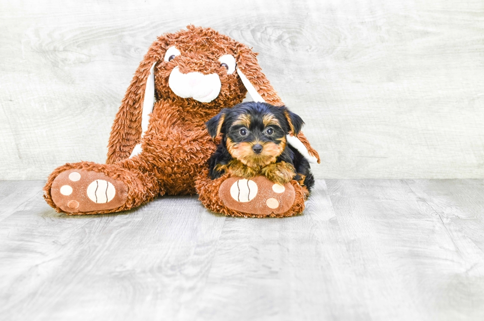 TEACUP YORKIE PUPPY - 8 week old Yorkshire Terrier for sale