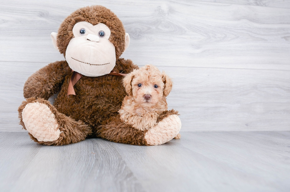 Toy Poodle Puppies For Sale Online Comfortable Us Shipping