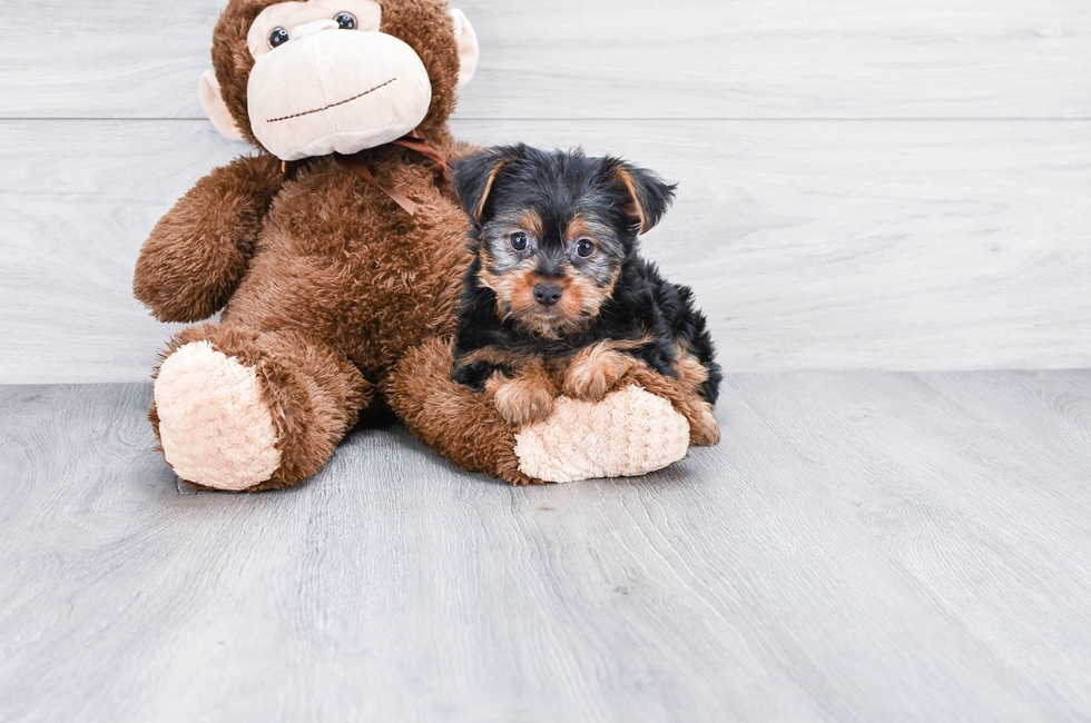 YORKSHIRE TERRIER PUPPY - 9 week old Yorkshire Terrier for sale