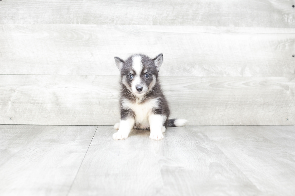POMSKY PUPPY - 14 week old Pomsky for sale
