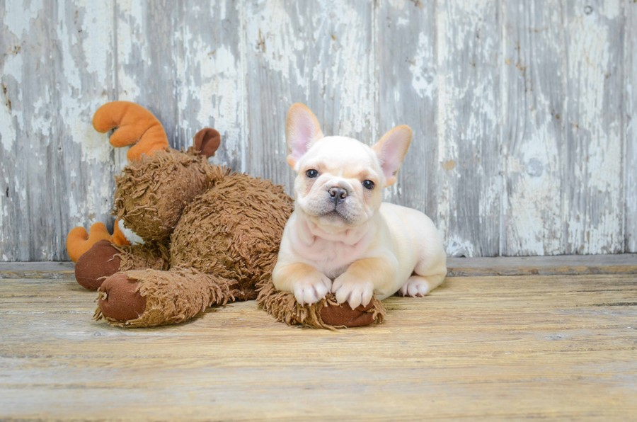 FRENCH BULLDOG PUPPY 6