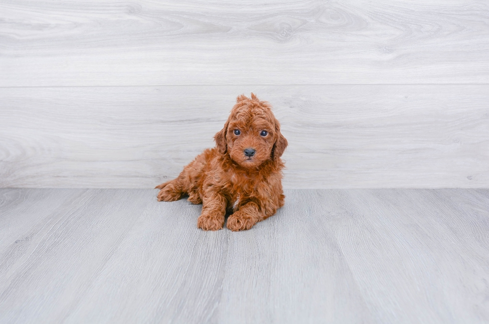 F1B MINI GOLDENDOODLE PUPPY - 10 week old Mini Goldendoodle for sale