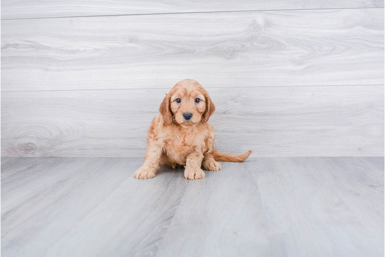 F1B COCKAPOO PUPPY 1